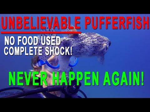 這只小河豚遇見人類並沒有逃走,竟然大膽游上前「討摸摸」…感覺就像在求收養啊!
