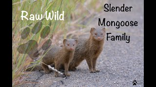 Very cute Slender Mongoose Family - Raw Wild