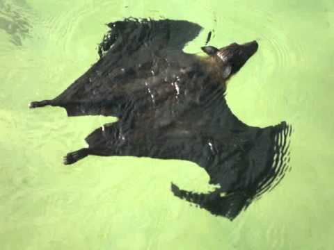 A bat swimming gracefully..