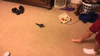 Parrot named blue cheese chases feet