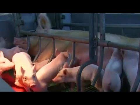 Απαγόρευση εισαγωγής χοιρινού από την Βουλγαρία