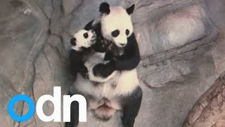 Video Panda triplets being reunited with their mum is lovely MP3, 3GP, MP4, WEBM, AVI, FLV Agustus 2017