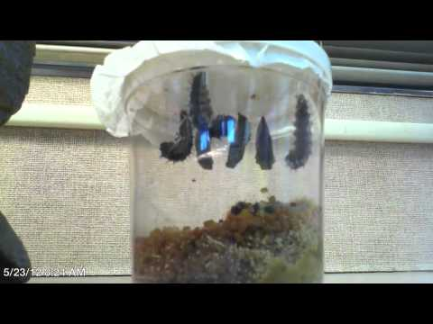 Time Lapse - The Life Cycle of the Painted Lady Butterfly