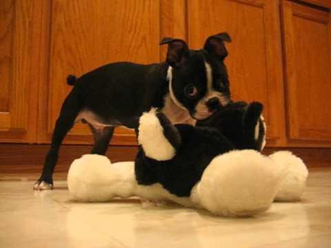 Boston Terrier puppy attacking stuffed animal
