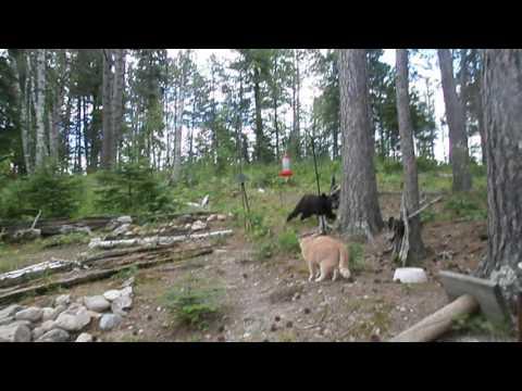 Tätä pihaa vartioi hurja kisu – Karhukin ihmeissään