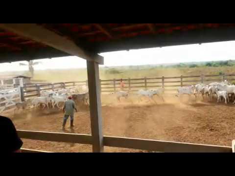 Ferra de gado em Araguanã/MA