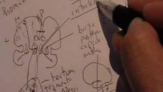 NEUROANATOMIA 2.0: TRACTOS ASCENDENTES DE LA MEDULA ESPINAL: DOLOR