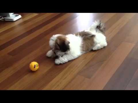Havanese dog Minky_ Introducing balls for the first time.