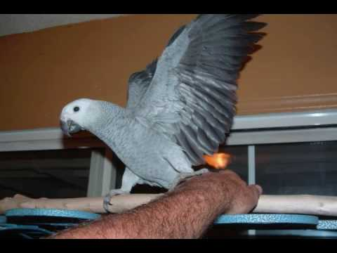 video of African Grey Breeding pair then 3 quick pics of Baby