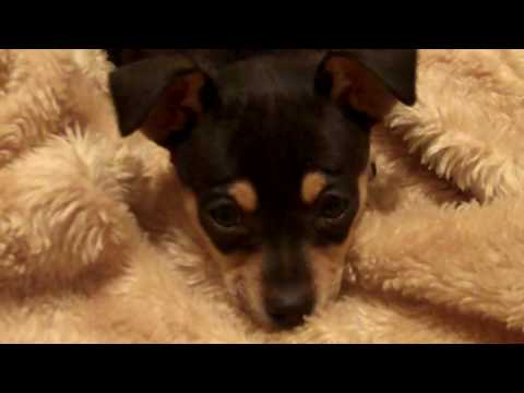 Adopted black and tan chihuahua X puppy