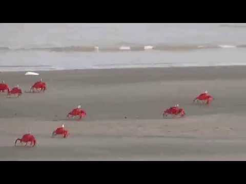Ghost Crab( Rhythemic Red Legs)