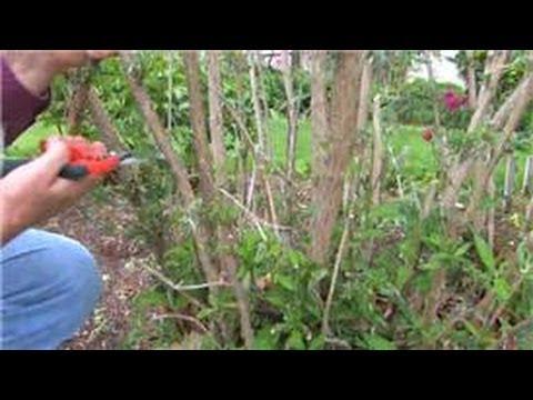 Gardening : How to Prune Butterfly Shrubs