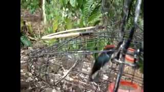 chim oc mit quang ngai