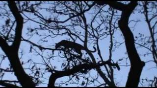 Kanha India  City pictures : Leopard Hunting Languar - Part 2 - Kanha - India