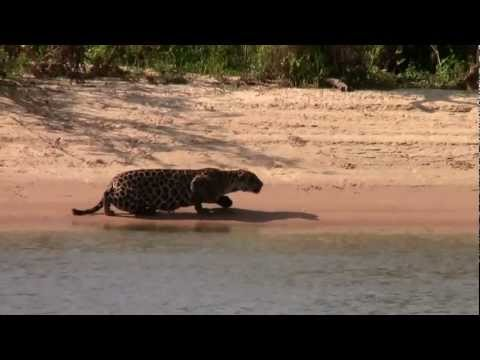kill - This is a piece of footage my younger brother filmed of a Jaguar stalking and killing a female Capybara on the shores of the river Cuiaba in Mato Grosso, Bra...