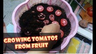 Video # TIS # CARA CEPAT TANAM TOMAT dr BUAH SEGAR;SEMAI;METAN;RAWAT|Plant&Grow Tomatoes from Tomatoes MP3, 3GP, MP4, WEBM, AVI, FLV Mei 2019