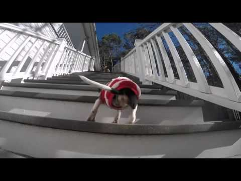 A 3-legged pup climbs stairs to the Rocky theme!