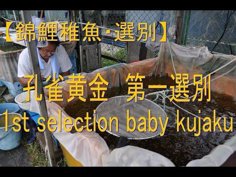 錦鯉の稚魚の池上げと選別2014 Keihan Koi Farm