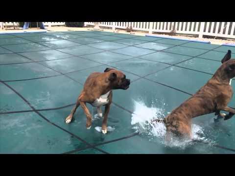 當主人將家裡的游泳池覆蓋的時候,他家中的狗狗就變得瘋狂了!