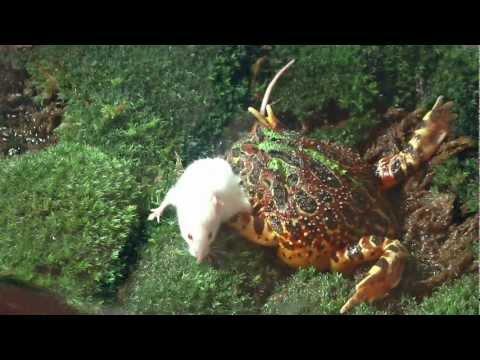 牛蛙凶神惡煞吃老鼠,被稱<地獄獵食者>!捕食影像太讓人震驚了!!