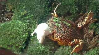 Pacman Frog Eats A Big Mouse