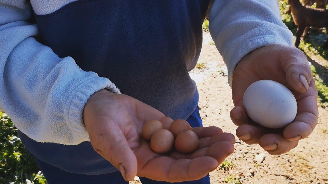 Ναύπλιο: Αυγά μινιατούρες σε κτήμα αγρότη