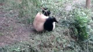 Когда пандам нечего делать