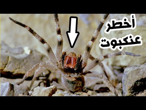 العرب اليوم - شاهد:أخطر 3 عناكب سامة في العالم