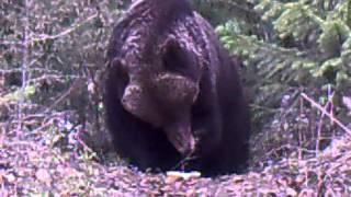медведь обедает