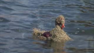 Akcja – Cała Polska spławia kaczki na wiosnę.