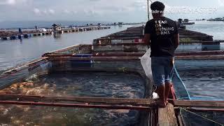 Video Ngasih makan ikan di keramba jaring apung danau toba MP3, 3GP, MP4, WEBM, AVI, FLV April 2019