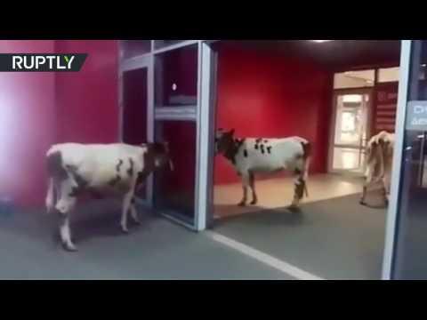 العرب اليوم - شاهد: لحظة اقتحام أبقار لمركز تجاري