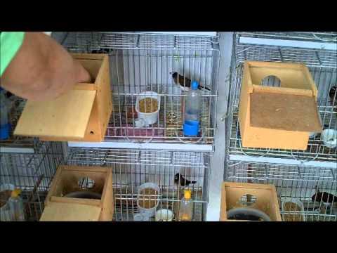 DIAMANTE GOLD 5ªPARTE Colocando os ovos nos MANONS