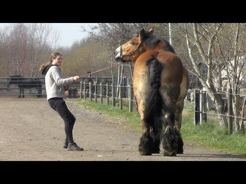 Taluttaja on hieman pulassa kun hevosta ei oikein nappaa seurata