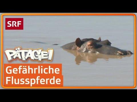 Flusspferde – die gefährlichsten Tiere in Südafrika