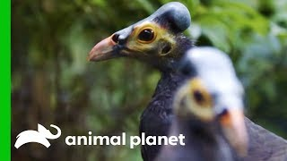 Pair Of Endangered Maleos Bond Over Their Love Of Peanuts | The Zoo by Animal Planet