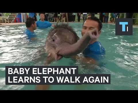 Baby Elephant Amputee Learns to Walk Again
