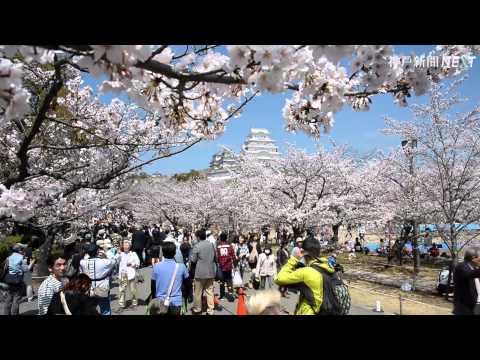 お花見日和 姫路城満開の桜