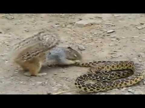 presas - http://chatjuca.com.br/ Animais selvagens caçando suas presas. Luta de Cobra com Esquilo ... Deixe seu comentario abaixo!!....http://youtu.be/6E4NRqJ3iyk.