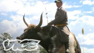 Racing Giant Yaks in Mongolia