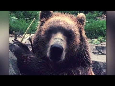 Grizzly Bear Smashes Glass At Zoo Exhibit