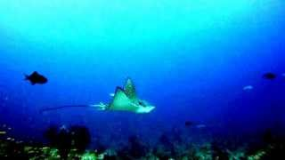 Eagle Ray hovering
