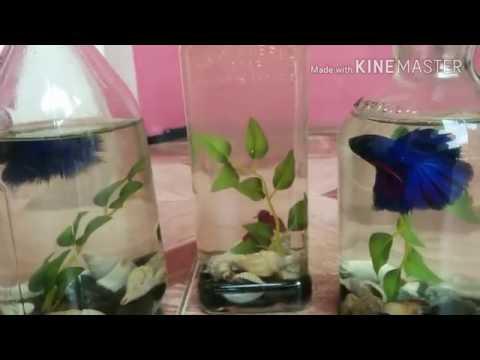 Download Video Keindahan Ikan Cupang Hias  Aquarium Botol