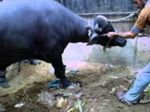 Qurbani Cow Kick http://tube.7s-b.com/qurbani+danger+cow/
