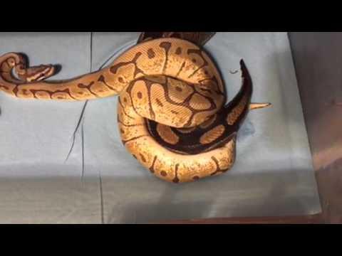 Ball Python Locks 2016 breeding season