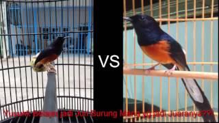 Video Duel 2 Juara  Burung Murai Batu - Berani Belajar jadi Juri Burung Murai MP3, 3GP, MP4, WEBM, AVI, FLV Juni 2018