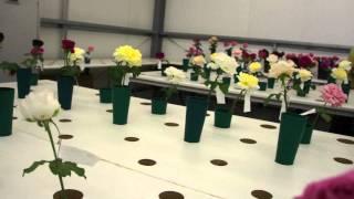 #491 David Austin Roses 2011 - Schnittrosenzüchtung 2v3