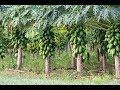 Budidaya Pepaya Menggunakan Pupuk Organik Nasa