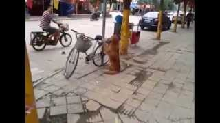 Best Dog Ever - Dog Guards Owner's Bike!