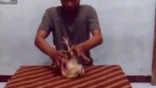 Saat pembuatan video ini tidak ada satu ekor pun ayam yang disakiti atau pun tersakiti... :DIkutin aja caranya seperti dalem video, pasti langsung bisa :D.